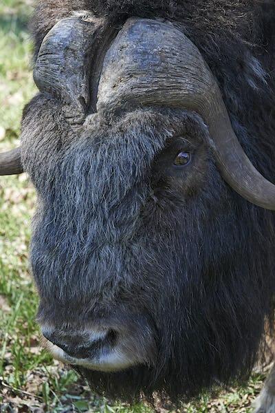 Muskox (Ovibos moschatus)