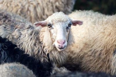 Herd of sheeps closeup