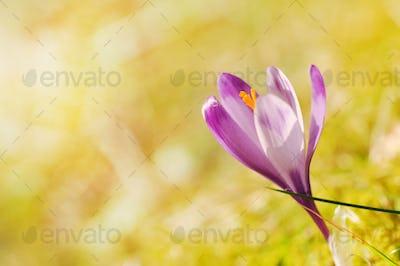 Purple crocus flower blooming in the spring