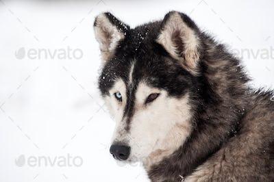 Husky dog portrait in the winter snow