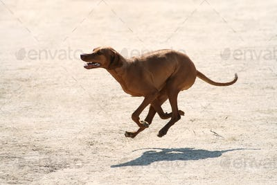 Purebred Rhodesian ridgeback dog without leash outdoors in the nature on a sunny day