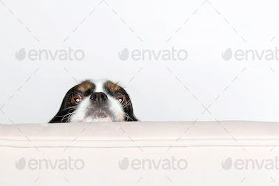 Dog leans head on the armchair