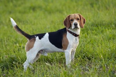 Beagle on meadow