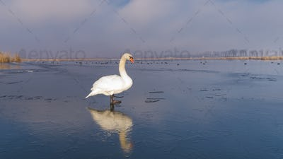 white swan in winter