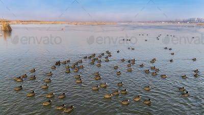 Eurasian coot  on the lake