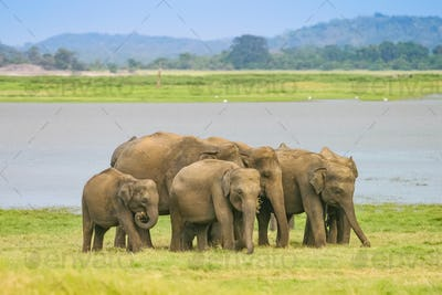 A Herd of Sri Lankan Elephant