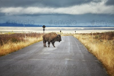 Bison on road in Grand Teton National Park, Wyoming, USA.