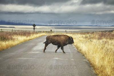 Bison crosses road in Grand Teton National Park, Wyoming, USA.