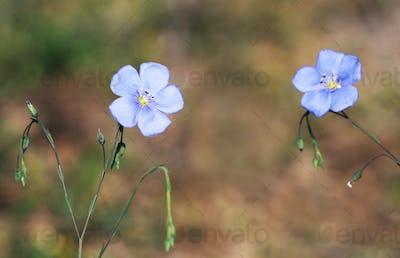 Springtime concept - blue flax flowers