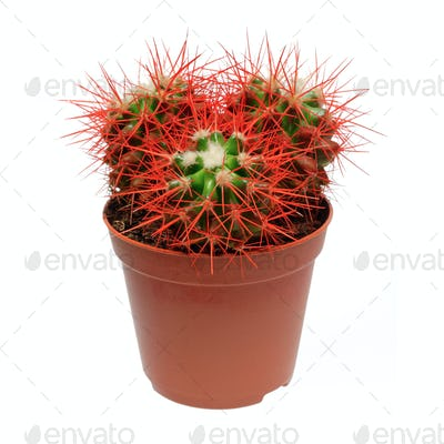 Red cactus in flowerpot