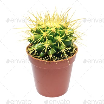 Yellow cactus in flowerpot