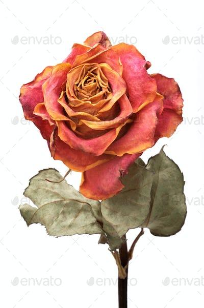 Single dry rose