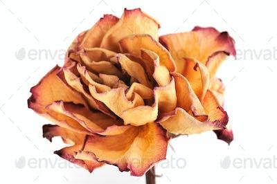 Dry rose