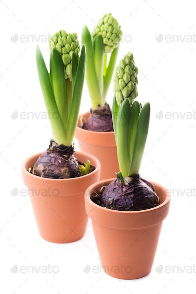 Three green hyacinths
