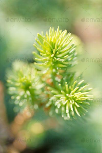 Tip of the fir tree branch