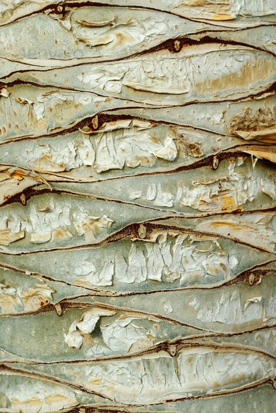 Dragon tree bark