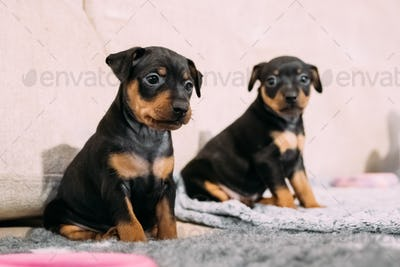 Two Small Black Miniature Pinscher Zwergpinscher, Min Pin Puppy