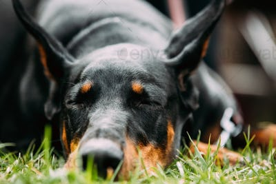 Young, Beautiful, Black And Tan Doberman Resting In Green Grass.