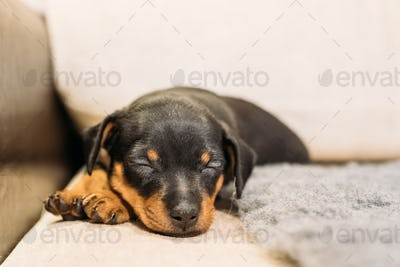 Small Black Miniature Pinscher Zwergpinscher, Min Pin Puppy Dog