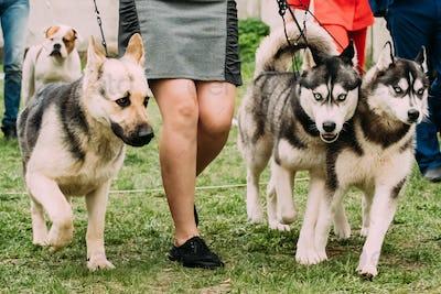Alsatian Wolf Dog Or German Shepherd Dog And Two Husky Dog Runni