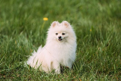 Young Happy White Pomeranian Spitz Sitting In Green Grass
