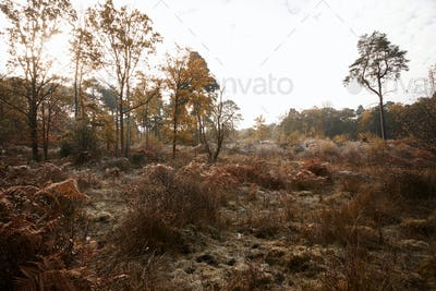 Autumn Trees And Bracken At Burnham Beeches In Buckinghamshire