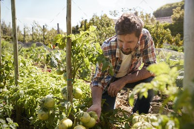 Man Checking Tomato Plants Growing On Allotment