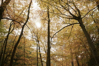 Burnham Beeches, UK - 7 November 2016: Canopy Of Autumn Trees At Burnham Beeches In Buckinghamshire