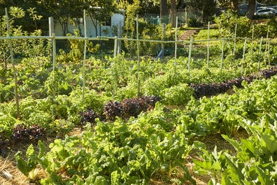 Fresh Produce Being Grown On Community Allotment