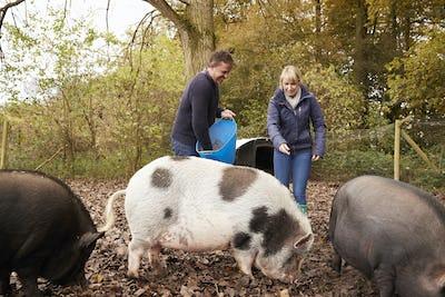 Mature Couple Feeding Rare Breed Pigs In Garden