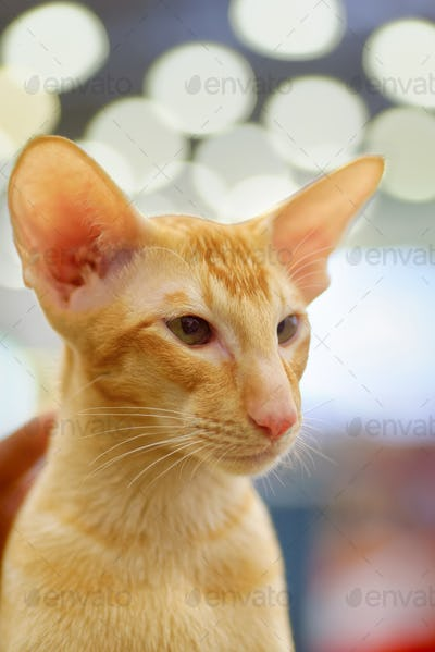 Young red oriental cat