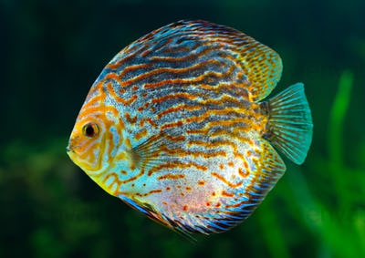 Discus, tropical decorative fish