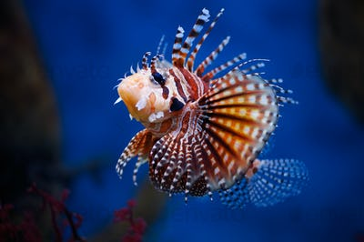 Lionfish (dendrochirus zebra) in a Moscow Zoo aquarium