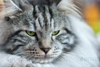 Gray-white Kurilian Bobtail cat