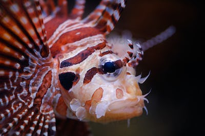Lionfish portrait