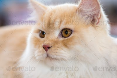 Relaxed orange-white cat