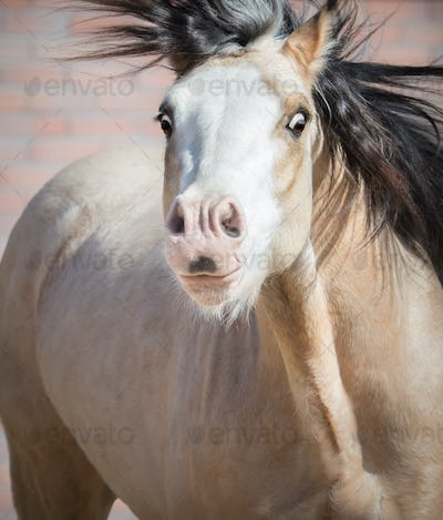 Funny dun Welsh pony with big expressive eyes