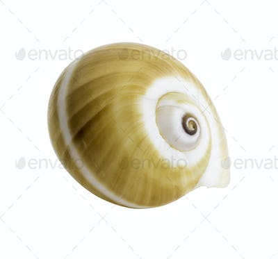 Close up Marine sea shell isolated
