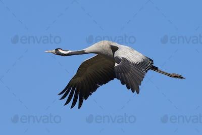 Common crane (Grus grus)
