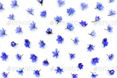 Floral pattern made of blue spring flowers (Hepatica nobilis) on