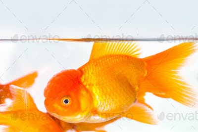 goldfish closeup in aquarium