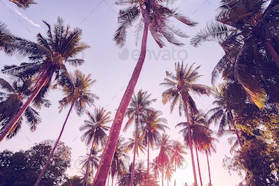 Coconut palm trees silhouettes at sunset, vacation concept.