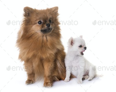chihuahua and spitz