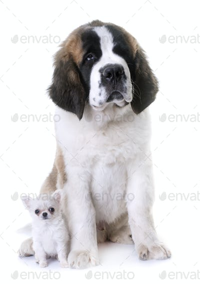 puppies chihuahua and saint bernard