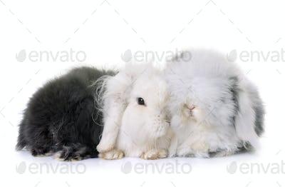 lop-eared  rabbits in studio