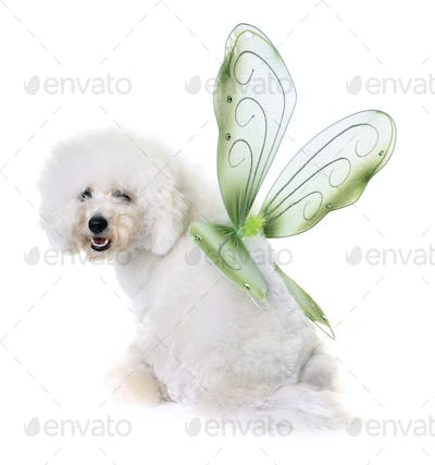 bichon frise and wings