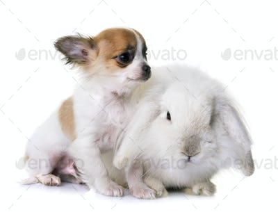 puppy chihuahua and rabbit