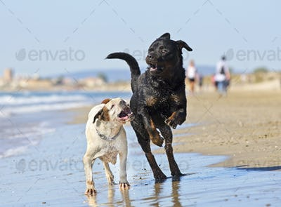 fighting dogs on the beach