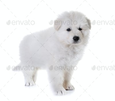 puppy White Swiss Shepherd Dog