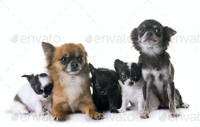 group of chihuahua in studio